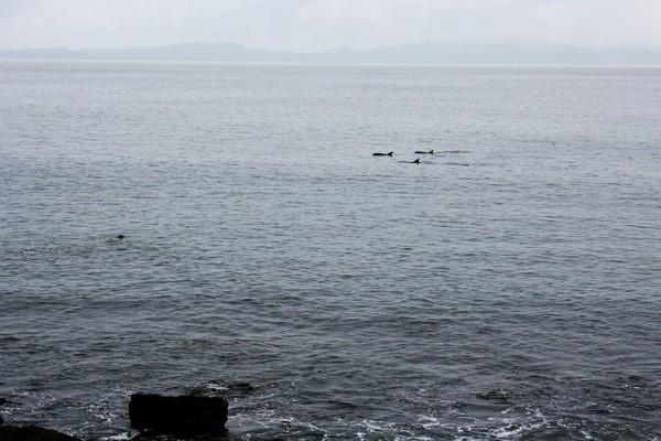 Une bande de dauphins en balade au sud de l'ïle de Mull, Ecosse - Blog le Bar à Voyages