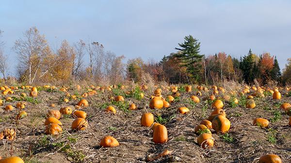 L'Île d'Orléans, fournisseur officiel de courges pour fêter Halloween - Québec