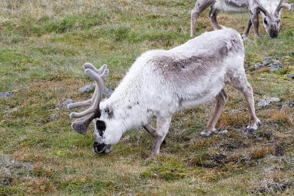 Svalbard-rennes - blog Bar a Voyages