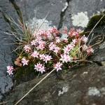Petites fleurs roses sur les rochers au sud de l'Île de Mull - Ecosse - Blog Le Bar à Voyages